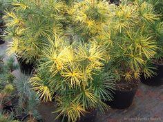 Sciadopitys verticillata 'Mr. Happy'- variegated Japanese umbrella pine