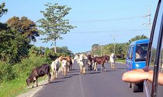 Costa Rica cow traffic