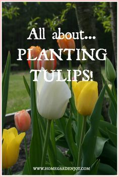 Planting Tulips - Home and Garden Joy