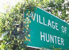 Wild Hops growing in Hunter