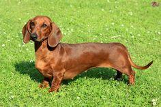poderes secretos racas de cachorro - Salsichinha