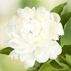 Pivoine : « Protection rapprochée »                                Langage des fleurs & symbole des fleurs | Interflora