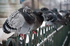 Brrr – French pigeons fluffing up against the cold