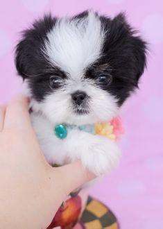 Shih Tzu Puppy ID #307 #maltese #DogCutest