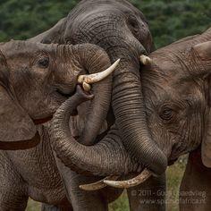 Group hug - elephant style.