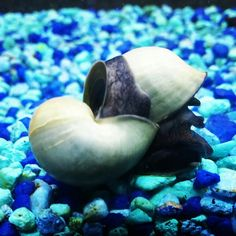 My 2 snails are always stuck together ♡
