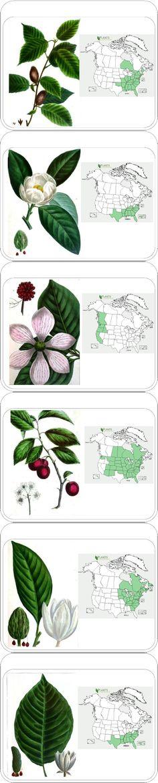 Printable Tree Identification Cards