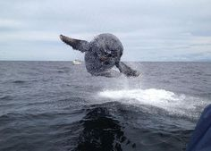 Whale Breaching Next To Fishing Boat