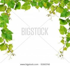 Fresh grapevine border Stock Photo & Stock Images   Bigstock