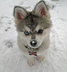 An Alaskan Klee Kai. They're miniature Siberian Huskies. How cute!