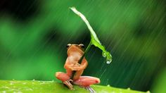 Singing in the rain: Resourceful Indonesian frog grabs cover where it can - how adorable!