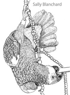 sally blanchard pen drawing blue fronted amazon acrobat