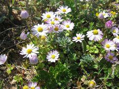 Sedmokráska - http://www.semena-osiva.sk/osivo-kvetin-osiva/370-sedmokraska-obycajna-super-enormarastlina-bellis-perenis01g.html