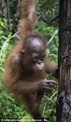 Baby Joss was taken from her mother in the wild by poachers, and sold on the black market pet shop for £25, but has now  found a new at a 'monkey pre-school' on Borneo, Indonesia.