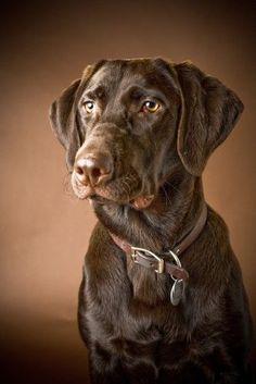 Chocolate (Brown) Labrador Retriever; Portrait Of A Labrador Poster Print (24 x 38) #labradorretriever