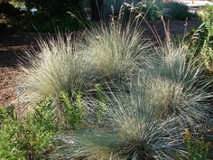 Blue oat grass Discover the many types of ornamental grass and how they differ from one another. You'll never look at grass the same way again.