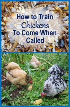 Learn how to train chickens to come when called, so you can get them to safety whenever you want. Train multiple flocks, each to a different call. Raising Backyard Chickens, Backyard Chicken Coops, Keeping Chickens, Pet Chickens, Backyard Farming, Urban Chickens, Toys For Chickens, Chicken Coop Decor, Silkie Chickens