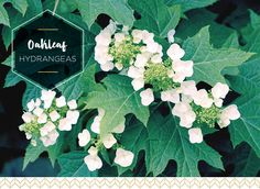 A guide to the seven main types of hydrangeas including: mopheads, lacecaps, and oakleaf hydrangeas.