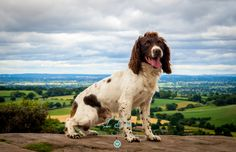 Spaniel portrait photo taken over the cheshire plains - photo taken during the Andy Biggar Photography Course North Wales August 2015 .. practice makes perfect!  Taken with my Olympus OM-D EM-10.