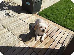 Santa Ana, CA - Maltese Mix. Meet Yogi, a dog for adoption. http://www.adoptapet.com/pet/18780131-santa-ana-california-maltese-mix