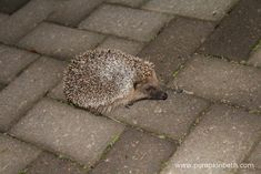 How to help Hedgehogs Hedgehogs are nocturnal mammals. Hedgehogs don't want to be confined to a Sustainable Living, Sustainable Gardening, Nocturnal Mammals, Hedgehogs, Sustainability, Garden Design, Wildlife, Pumpkin, Gardens
