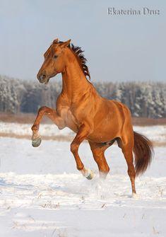 Russian Don horse Basof (Базоф)