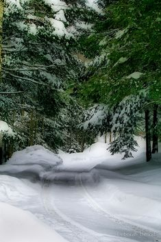 Evergreens In Snow (Vermont) by Deborah  Benoit