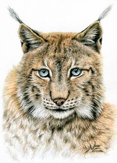 "Saatchi Online Artist Nicole Zeug; Drawing, ""The Lynx"" #art"