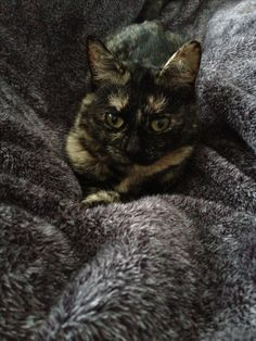 Tortoise Shell Cat. Gorgeous.