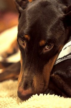This is the look that makes you fall in love.....oh, I miss my dobes :( #DobermanPinscher