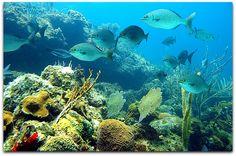 Submarinismo en Playa Girón. Cuba, Fish, Pets, Animals, Long Beach, Scuba Diving, Animales, Animaux, Pisces
