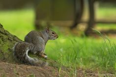 Grey squirrel Photo by Nuno Xavier Moreira — National Geographic Your Shot