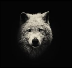 An Arctic wolf.   Dark side of the zoo - captive animals in black and white. Alex Teuscher photographs captive animals in black and white, producing dark, atmospheric portraits