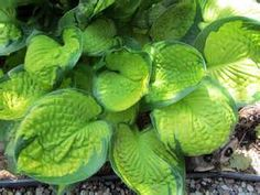 hosta victory - Looksafe Yahoo Image Search Results