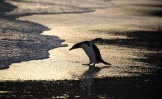 https://flic.kr/p/229DvmX   Gentoo Penguin.   Gentoo Penguin.