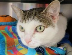 Meet C-58003 Mona a Petfinder adoptable Manx Cat | Mount Holly, NJ | Mona was sleeping so peacefully, we didn't want to wake her. Mona is between 2-3 years old. Mona is...
