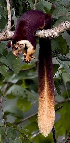 Indian Giant Squirrel. They are around 1 foot body length and 2 feet tail length, weighing in at 4-5 pounds. Despite their size, they are not seen too often, as they live high up in the trees. Photo by Vijay Cavale