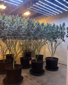 Marijuana Plants, Cannabis Plant, Growing Greens, Growing Herbs, Indoor Farming, Cannabis Cultivation, Houses, Hemp, Flowers