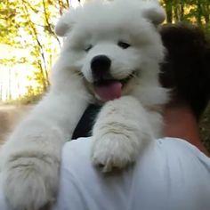 Samoyed, Husky, Dogs, Animals, Instagram, Animales, Animaux, Pet Dogs, Samoyed Dog