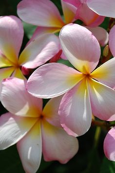 Lite pink plumeria by ksmflorida. Frangipanis are the easiest things to grow in a warm climate. Simply take a bough of a tree and plant it in the ground. We have 4 new trees from an old tree we had to get rid of. Exotic Flowers, Tropical Flowers, Beautiful Flowers, Pink Flowers, Hibiscus, Plumeria Flowers, Draw Flowers, Botanical Gardens, Mother Nature