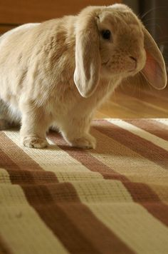 I really want a lop eared bunny named Harriet!