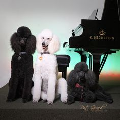 "#poodles ""The HPC Piano Poodles"" - Roland, Baldoin & Dolly From your friends at phoenix dog in home dog training""k9katelynn"" see more about Scottsdale dog training at k9katelynn.com! Pinterest with over 18,600 followers! Google plus with over 120,000 views! You tube with over 400 videos and 50,000 views!! Serving the valley for 11 plus years Twitter 200 plus!"