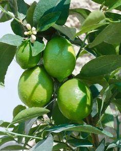 Limetti Fruit, Gardening, Spring, Garten, Lawn And Garden, Square Foot Gardening, Garden Care