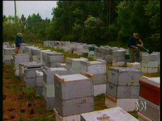 Have you ever wondered what a bee farm looks like? This clip shows how bee farmers (apiarists) look after their bees. Watch the bee hives being opened and see the honey being collected. View the machinery used to collect and bottle the honey.
