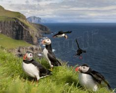 Atlantic Puffins Together Wallpaper Mural. Email us now for a quote sales@pickawall.com