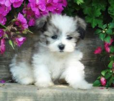 Teddy Bear Puppies!!! - Malshis Pups