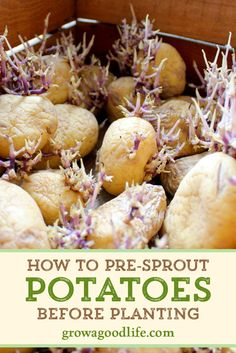 How to Pre-Sprout Potatoes - - No matter how you plant your potatoes, chitting potatoes before planting can give your plants a few weeks head start and may increase overall yield. Sprouting Potatoes, Planting Potatoes, How To Plant Potatoes, Sprouting Seeds, Regrow Vegetables, Container Gardening Vegetables, Vegetable Gardening, Potato Gardening, Veggie Gardens