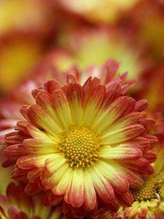 Chrysanthemum Dazzling Stacy Orange