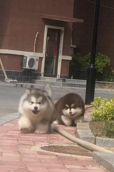 Really Cute Puppies, Cute Baby Dogs, Cute Funny Dogs, Cute Dogs And Puppies, Cute Funny Animals, Alaskan Dog, Alaskan Malamute Puppies, Cute Wild Animals, Super Cute Animals