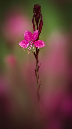 gaura - I have this self seeding & coming up every where & it doesn't require attention :-)